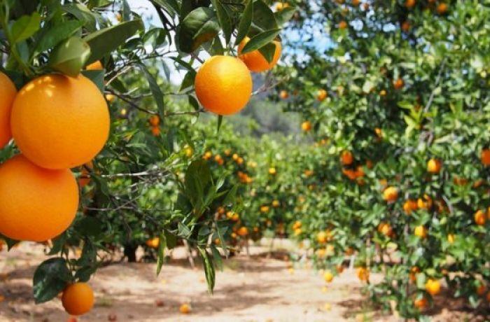 Албания заняла 7 место в Европе по объему производства апельсинов