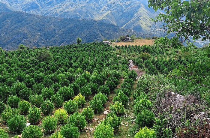 Албания близка к легализации медицинской марихуаны